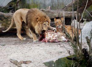 Der Kadaver des Giraffen Marius wird am 9. Februar 2014 im Kopenhagener Zoo von jenen Löwen gefressen, die kürzlich getötet worden sind. (Bild: Keystone / AP)